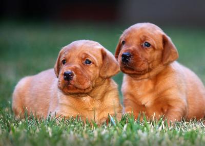3 wks 2 puppies in grass