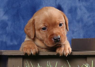 4 wk puppy in box