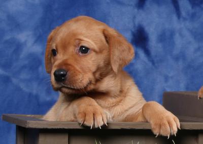 4 wk single puppy