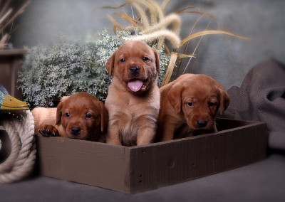 4 wks 3 puppies in box