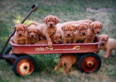 6 wks wagon