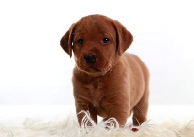 web standing puppy